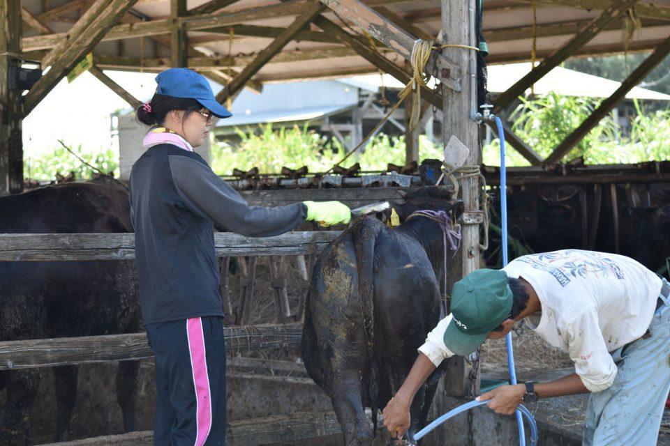 牛さんのお世話の写真