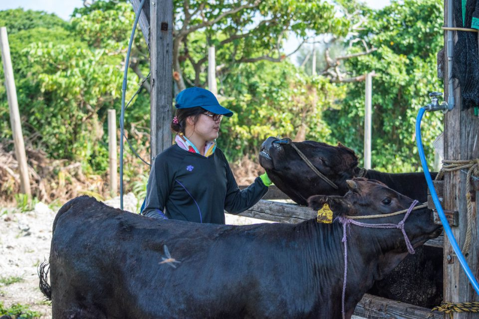 セリの前に牛さんのお世話