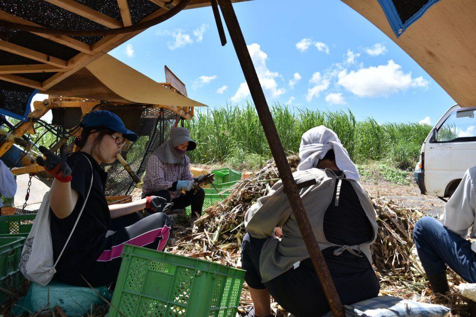サトウキビ畑の写真