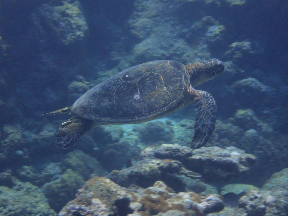喜界島の海の中カメさんと一緒に泳ぐ